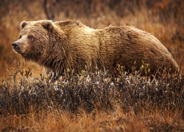 Where Do Grizzly Bear lives?