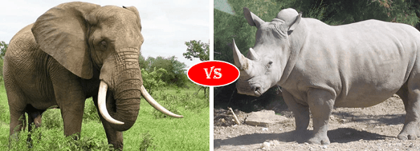 African bush elephant vs white rhino