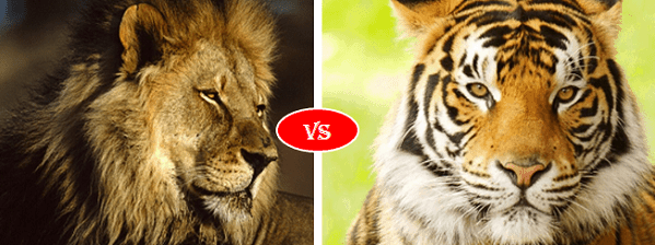Bengal Tiger vs African lion