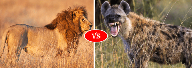 African lion vs Hyena