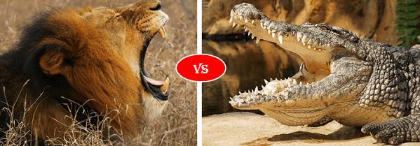 African lion vs nile crocodile