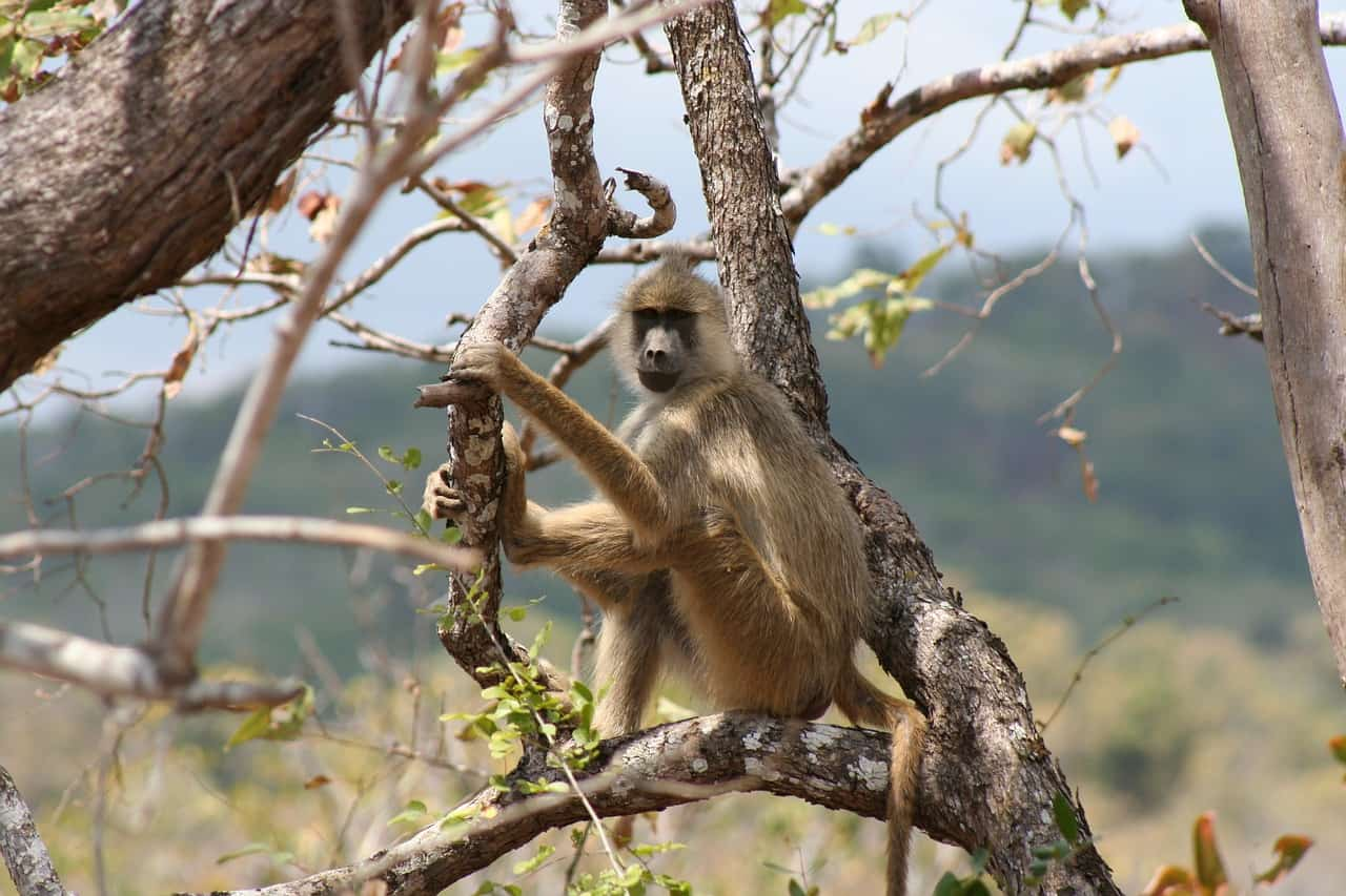 Are Baboons endangered?