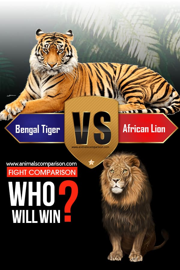 Bengal Tiger Vs African Lion Fight, who will win?