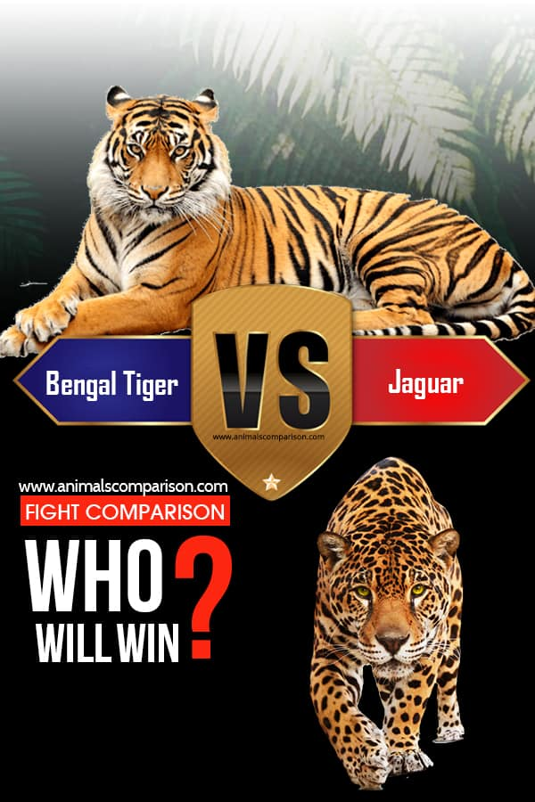 Bengal Tiger vs Jaguar