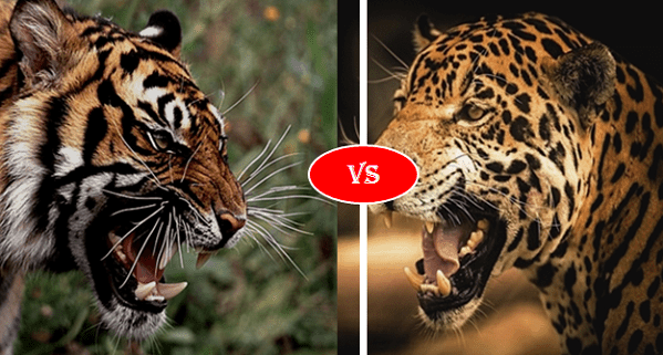 Bengal Tiger vs Jaguar Fight comparison, who will win?
