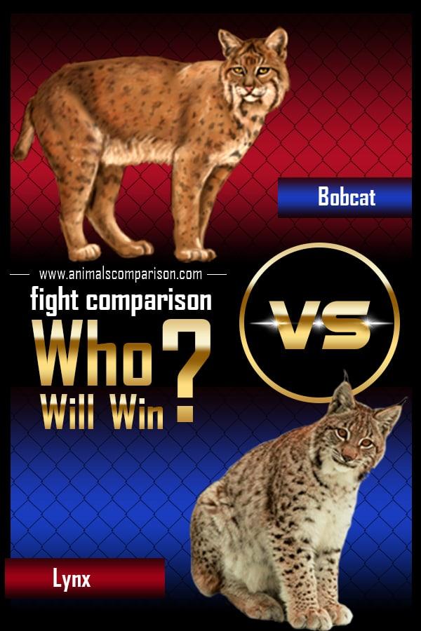 Bobcat Vs Lynx Fight