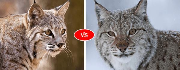 Bobcat vs Lynx