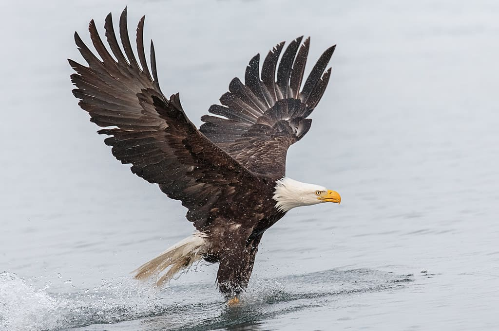 Can Bald Eagle swim?