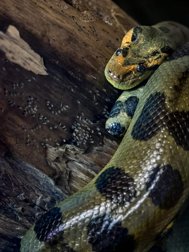 Can Green Anaconda kill pythons?