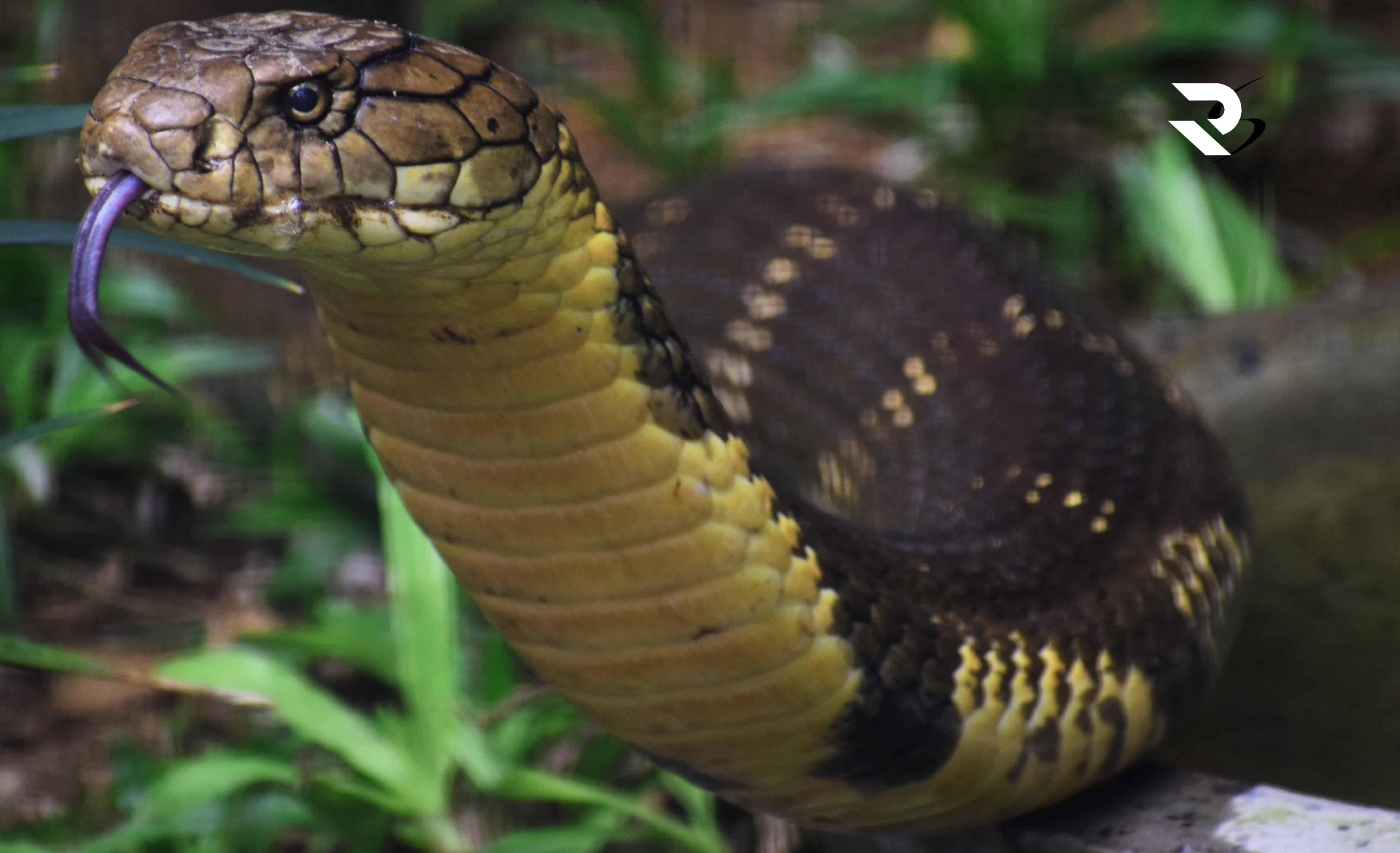Can King cobra kill an elephant?