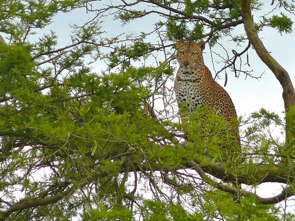 Can Leopards climb trees?