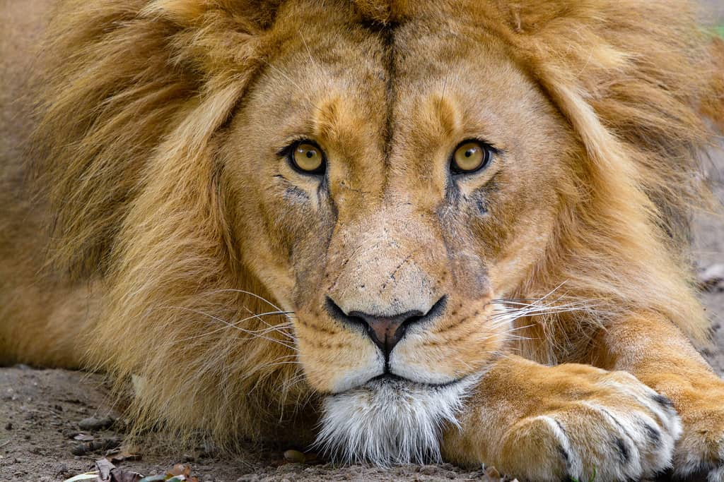 Which countries have African lions?