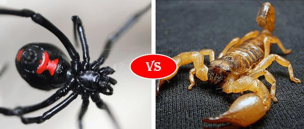 Deathstalker vs  Black Widow Spider fight comparison, who