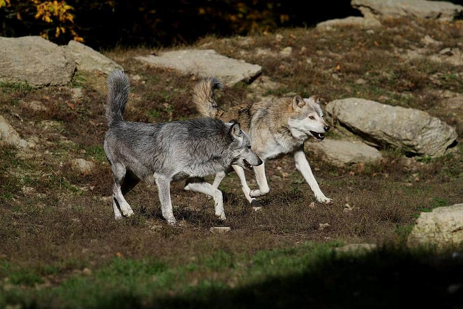 Where is Gray Wolf found?