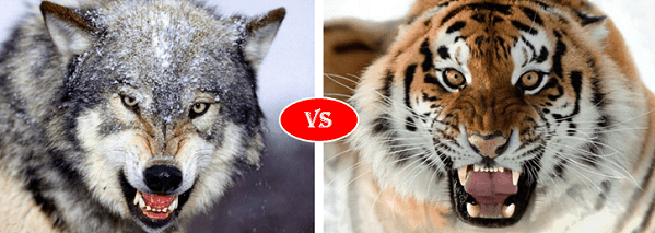 Gray wolf vs Siberian Tiger