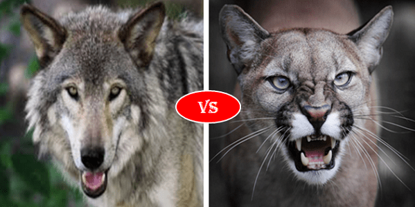 Gray wolf vs cougar