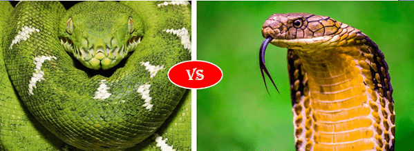 Green anaconda vs king cobra