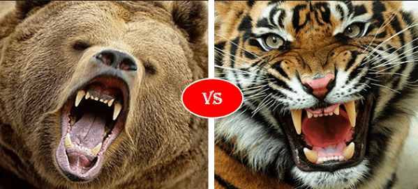 Grizzly bear vs Siberian Tiger