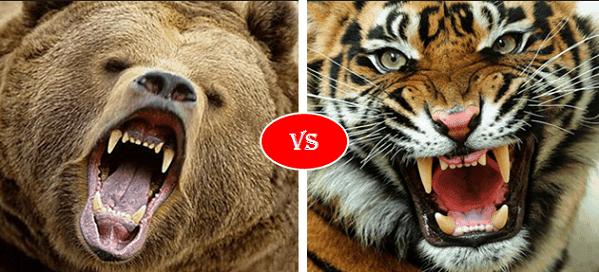 Grizzly bear vs Siberian Tiger