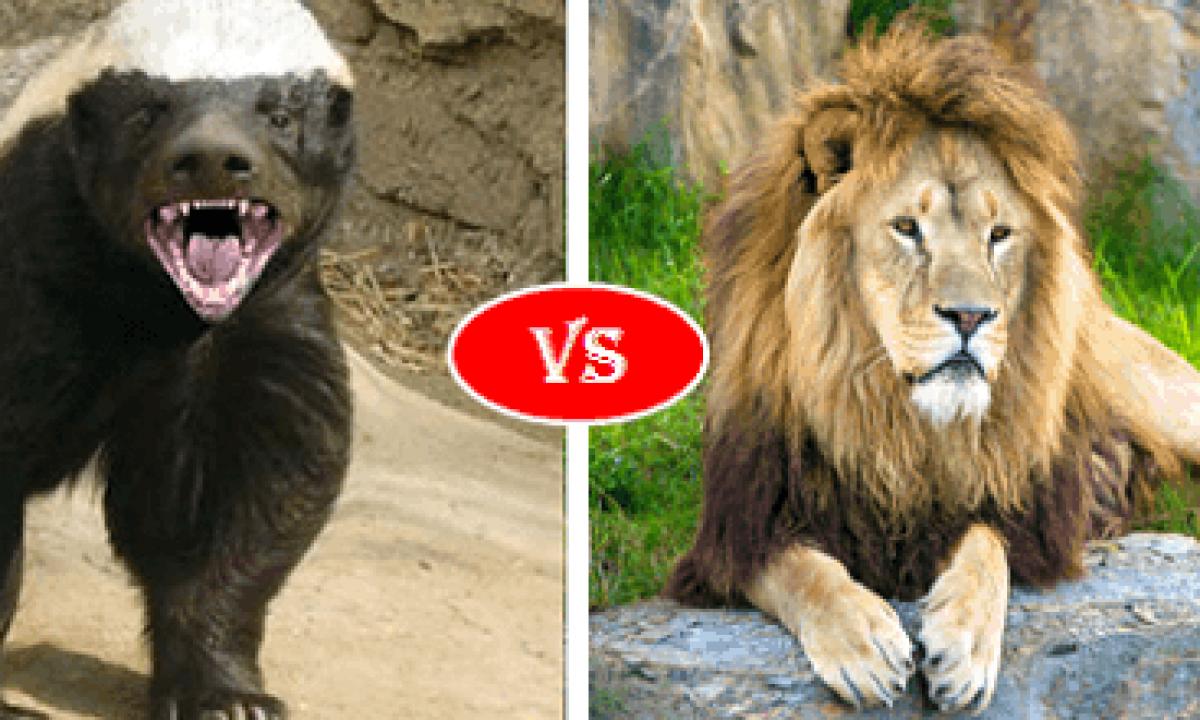 Bison Vs Lion