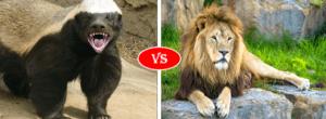 Honey Badger vs Lion