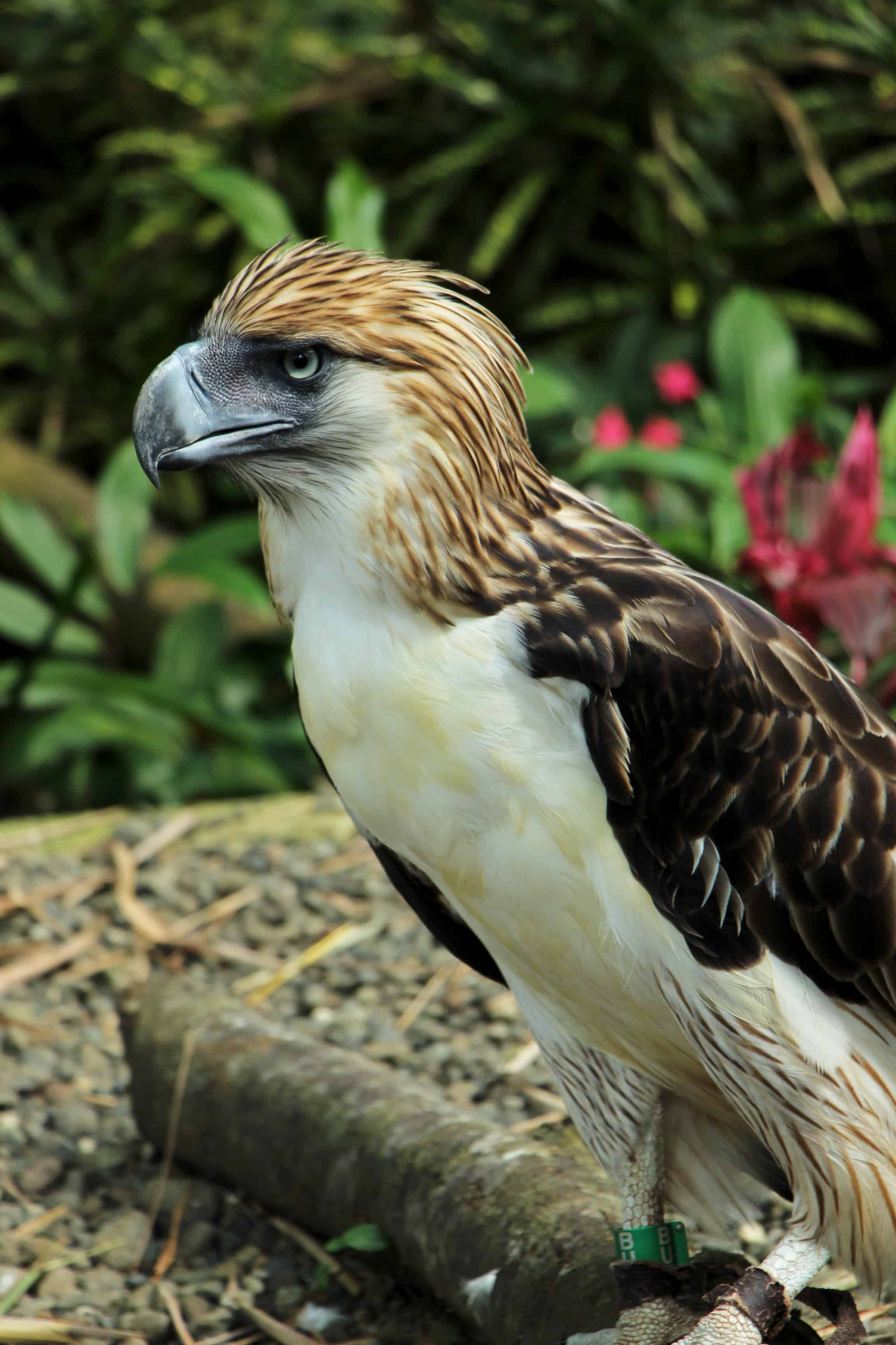 How big is Philippine Eagle