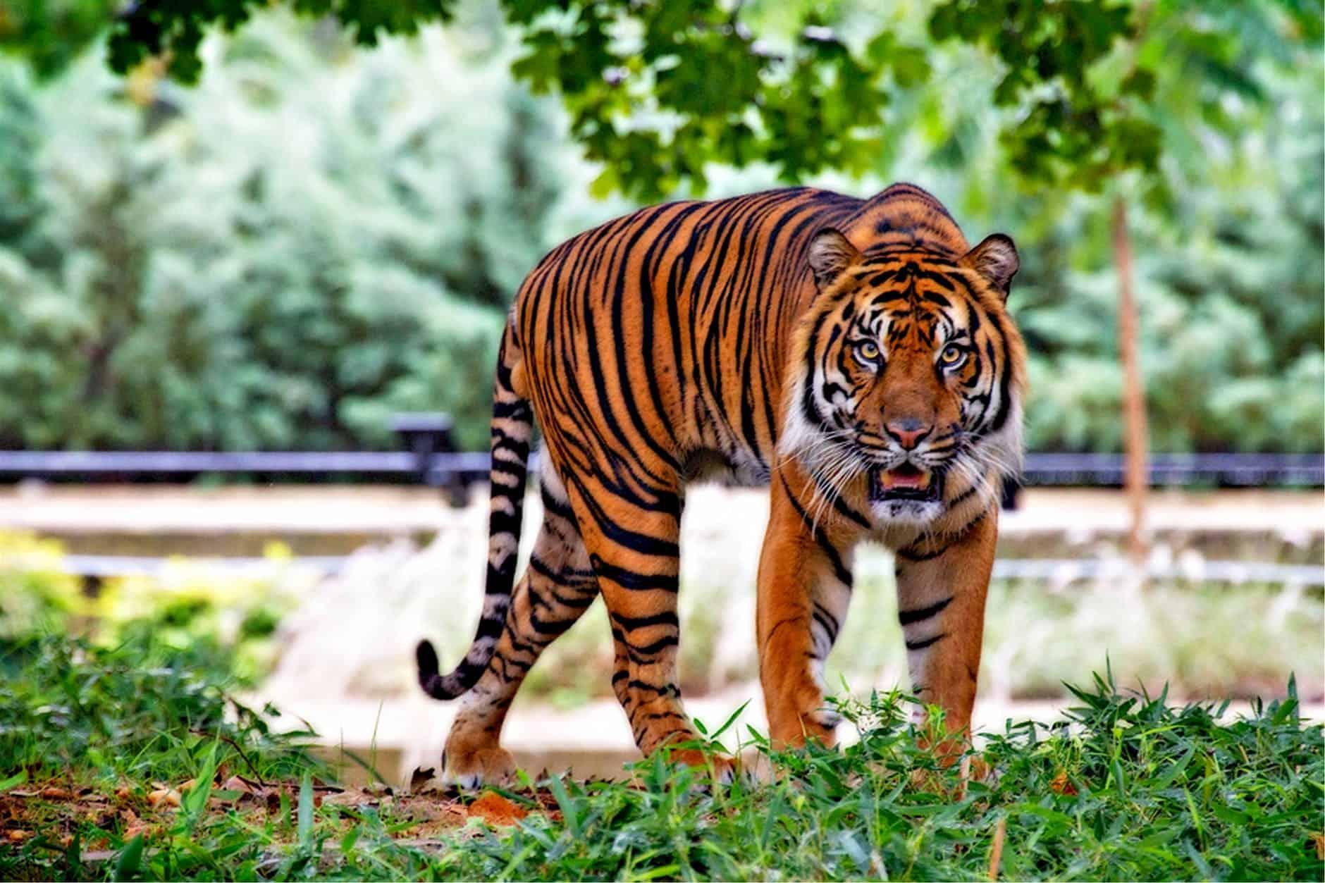 How big is a Bengal Tiger?