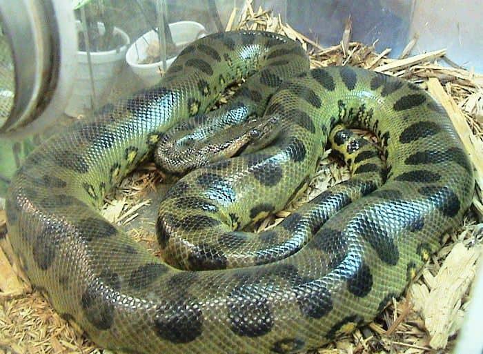 How big is a Green Anaconda?