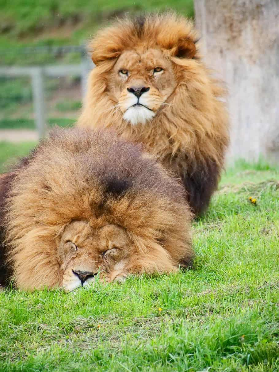 How big is a Male/ Female African Lion?