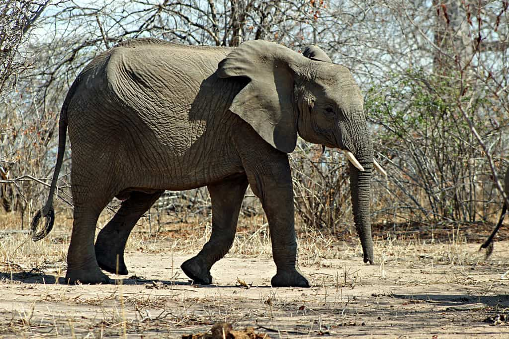 How big is an African Bush Elephant?