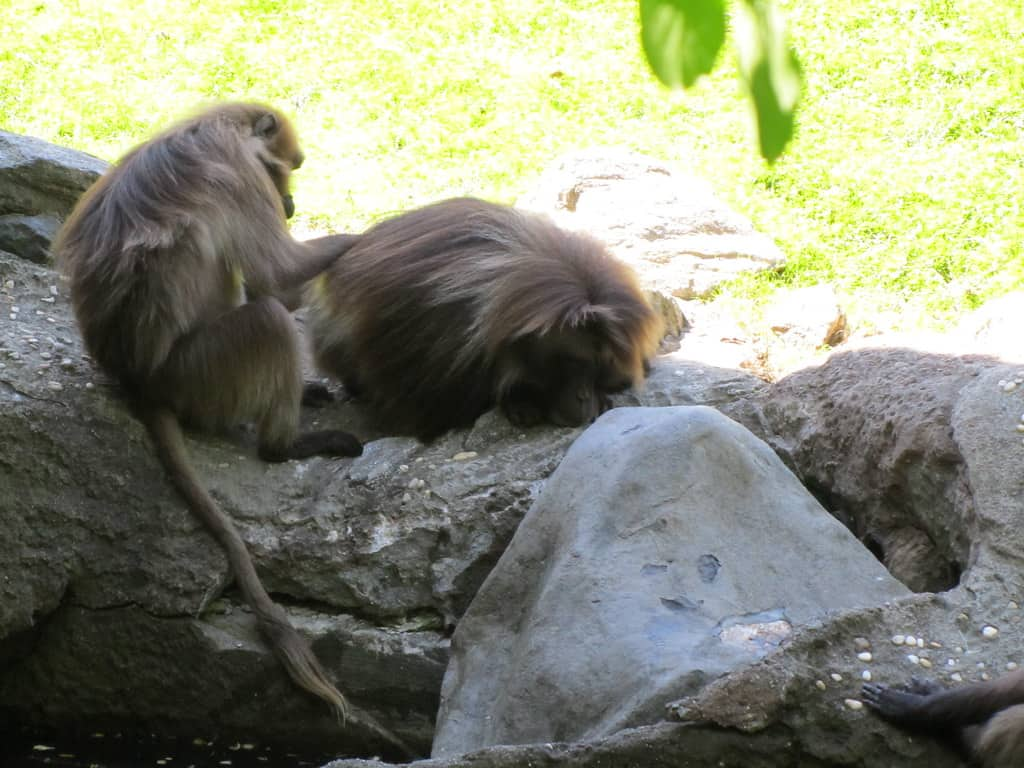 How do Baboons clean themselves?