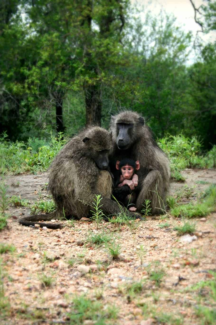 How do Baboons mate?