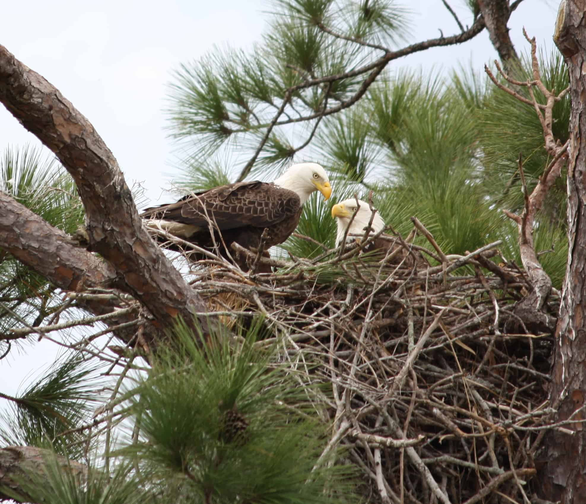 How do Bald Eagles reproduce?