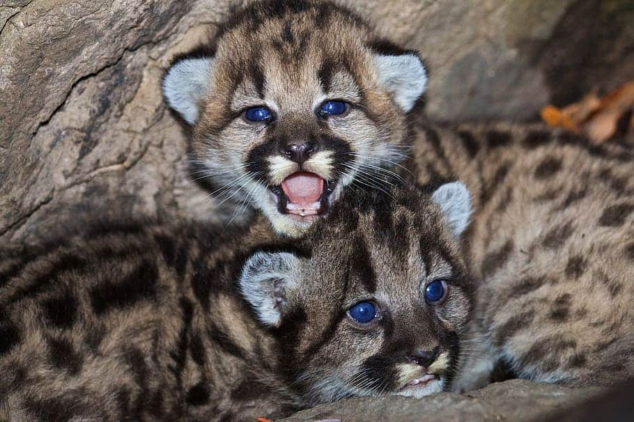 How do Cougars reproduce?