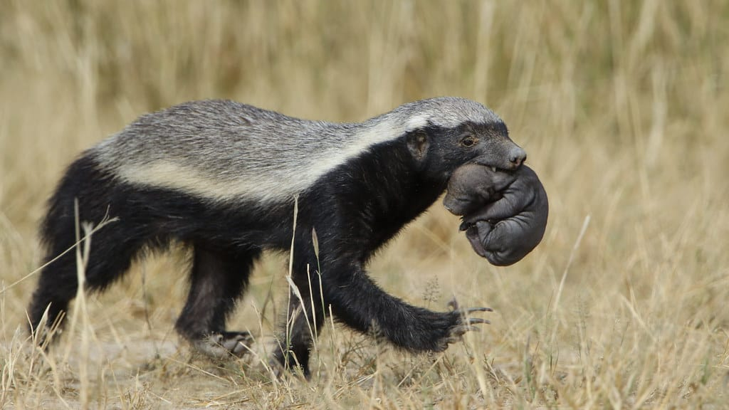 How do Honey Badgers reproduce?