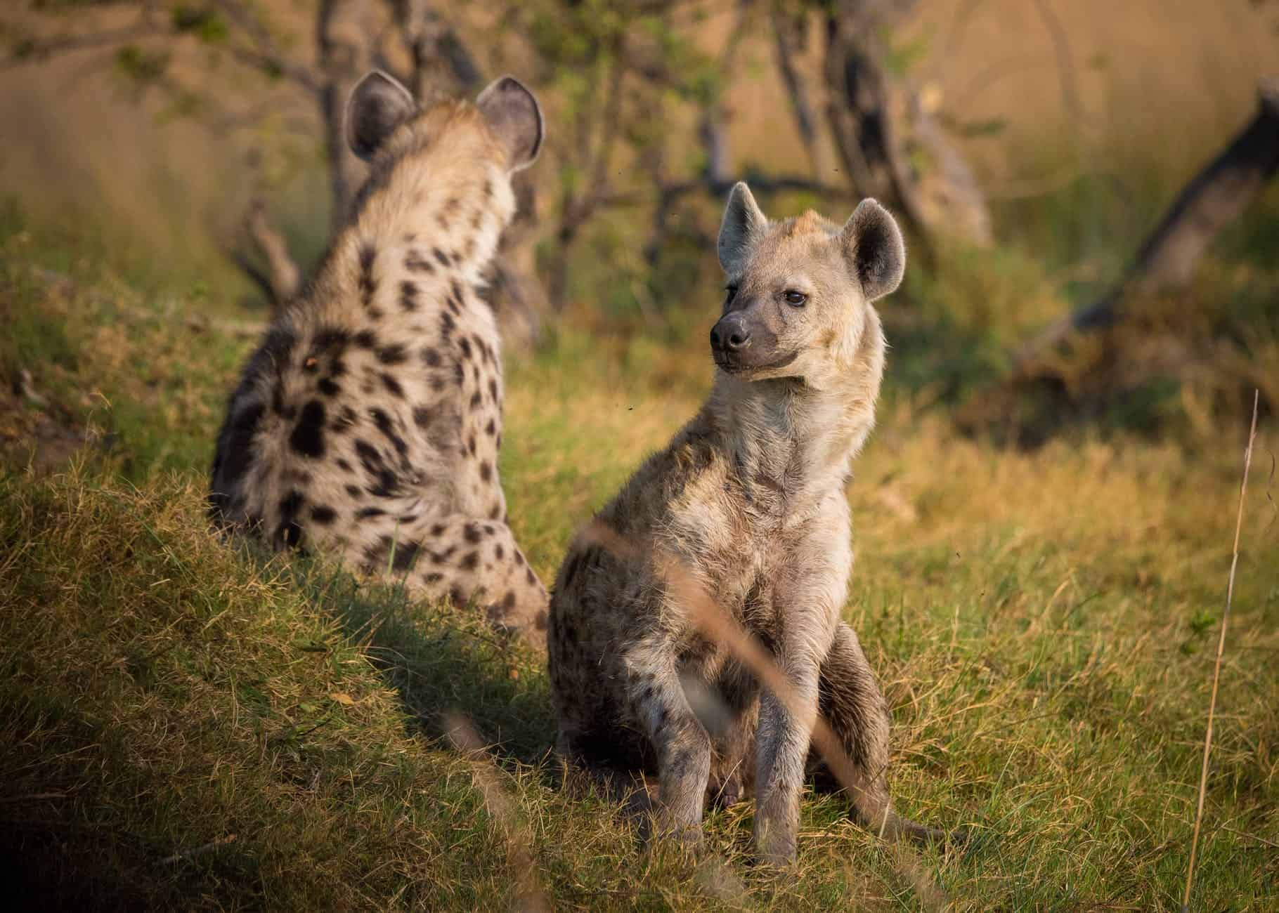 How do Hyenas communicate with each other?