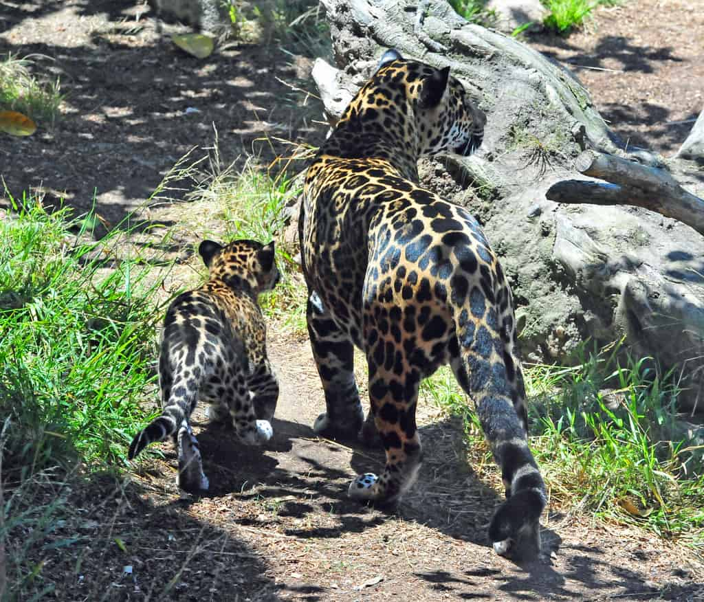 How do Jaguars reproduce?