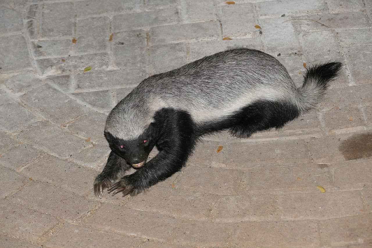 How does Honey Badger defend itself?