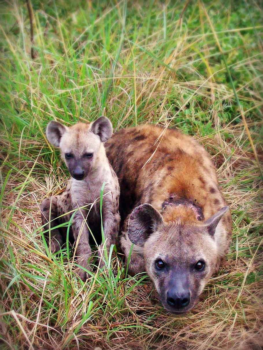 How does Hyena reproduce?