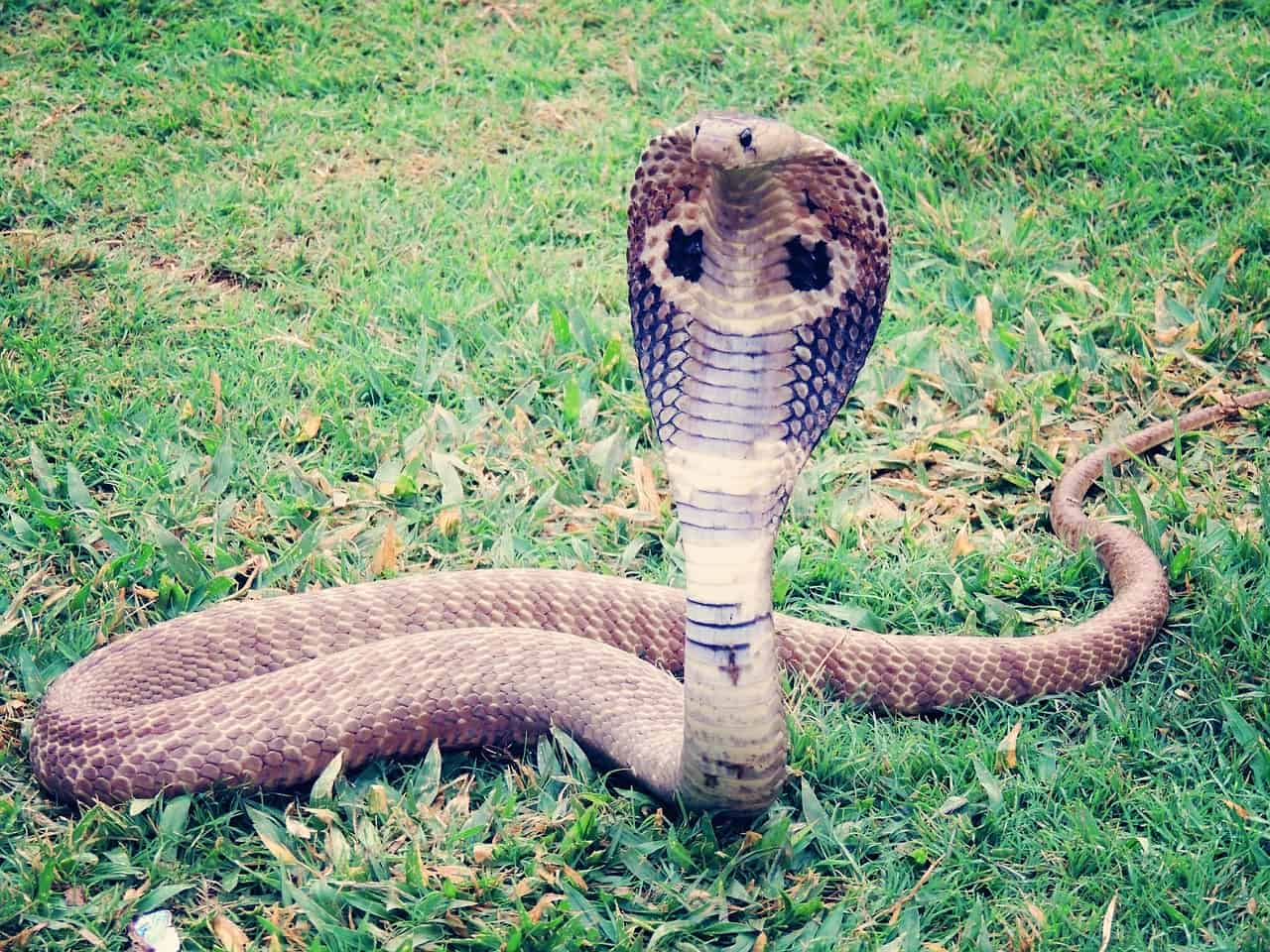 How does King Cobra attack?