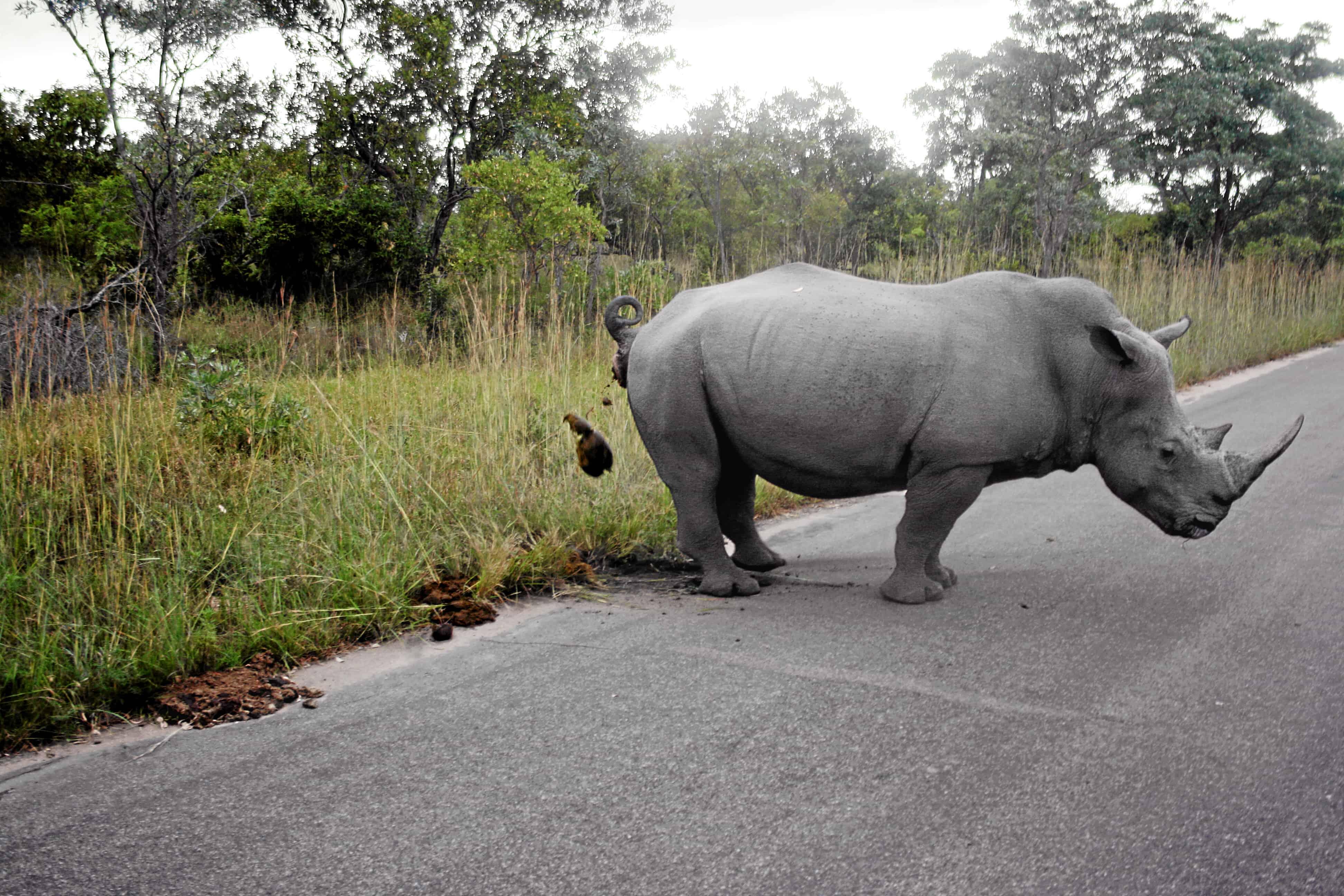 How does Rhino mark its territory?