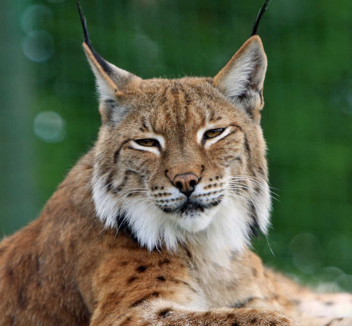 How does a Bobcat look?