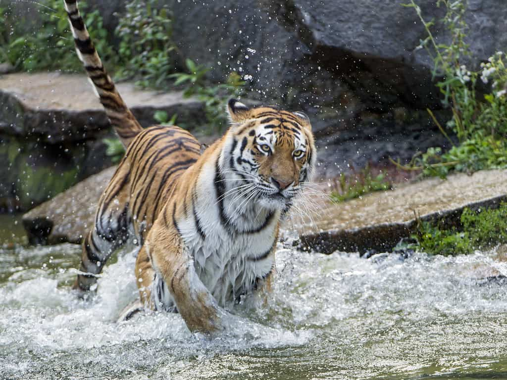How fast can a Tiger run?