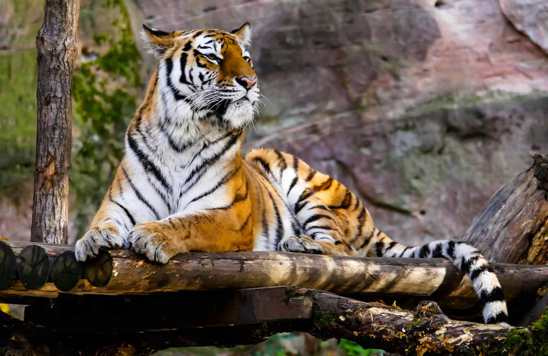 How long does a Bengal Tiger live?
