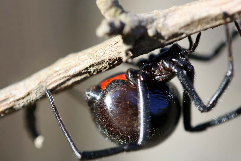 How long does a Black Widow Spider live?