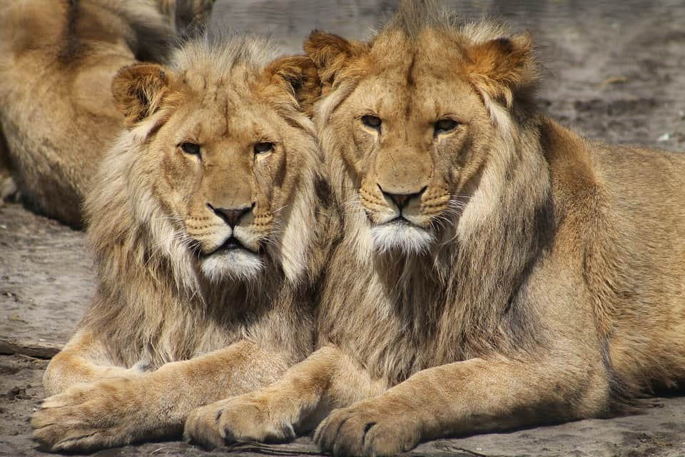 How long does a Lion live?
