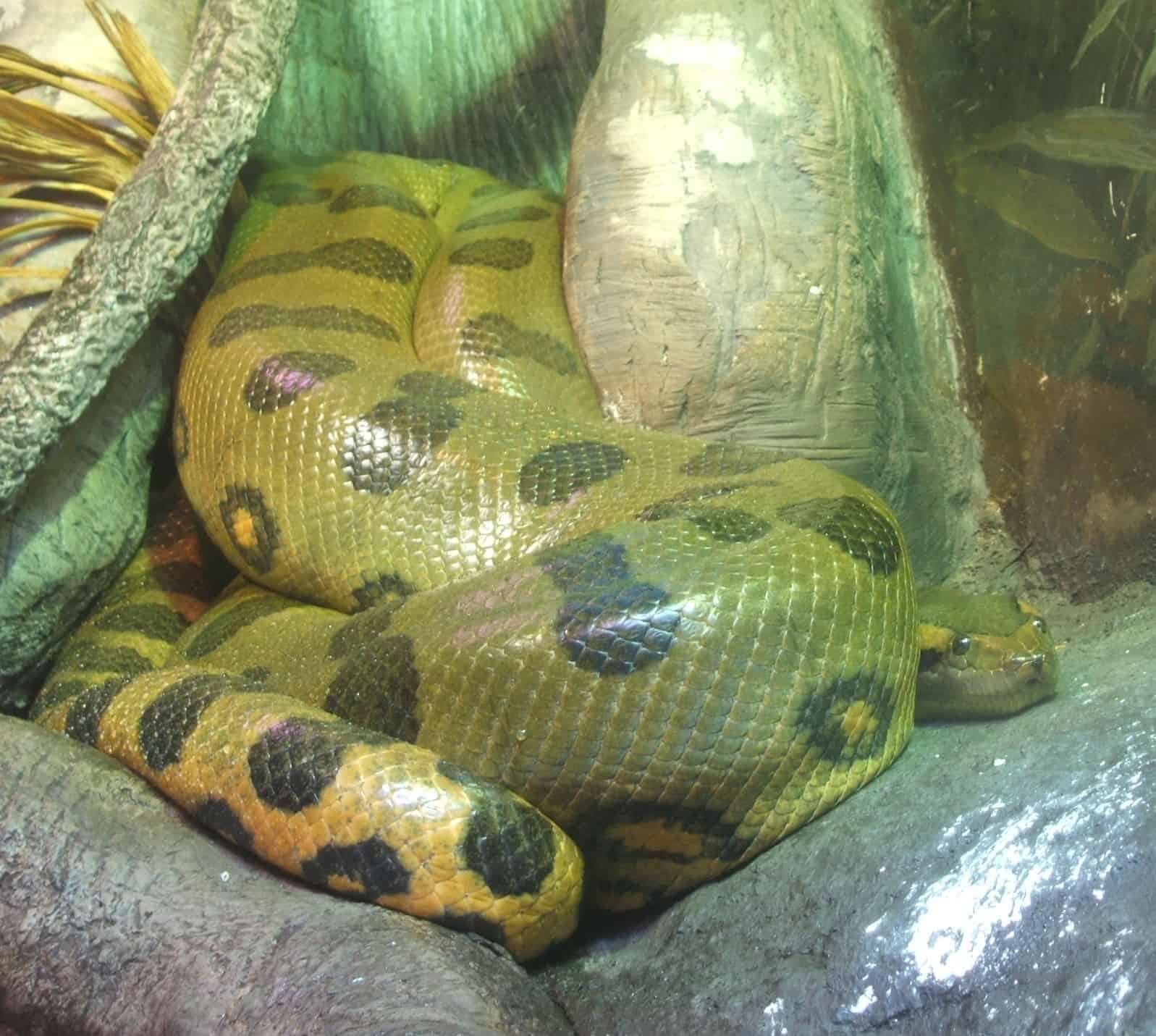 How long is Green Anaconda?