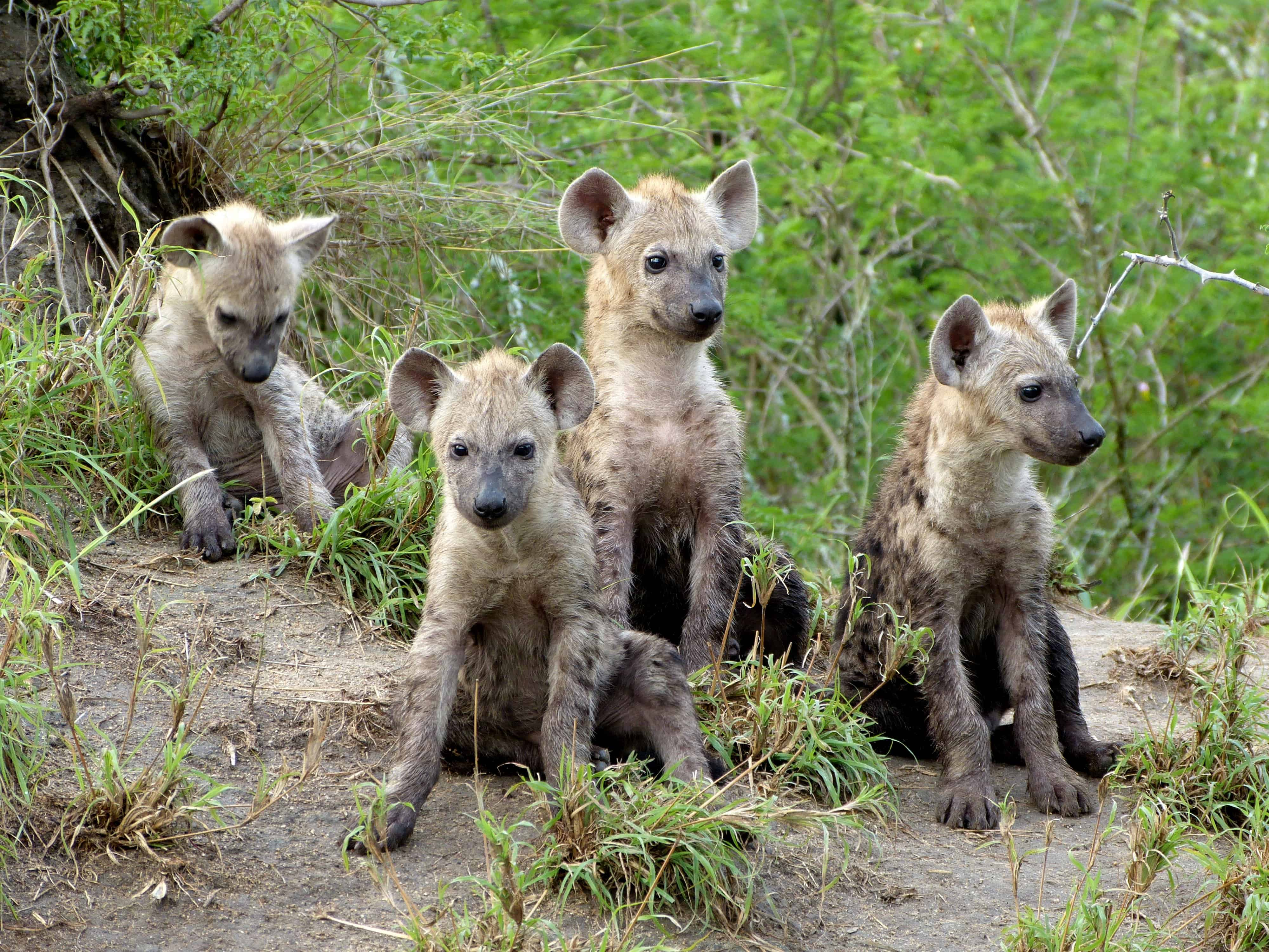 How many species of Hyenas are there?