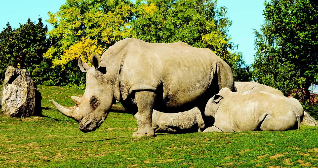 How many species of Rhinos are there?