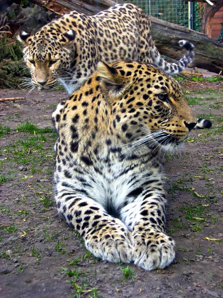 How many subspecies of Leopard are there?